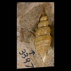 Anchura nebrascensis
