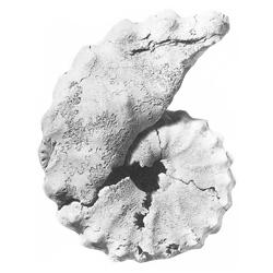 Plesiacanthoceras wyomingense