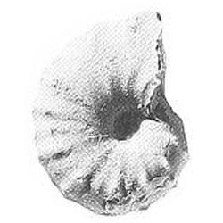 Plesiacanthoceratoides vetula
