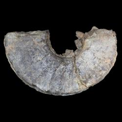 Prionocyclus macombi
