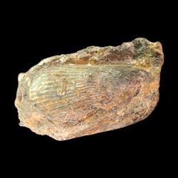 Brachidontes nonbifurcus