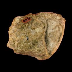 Hippurites flabellifer