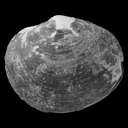 Nympholucina occidentalis