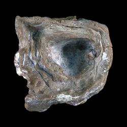 Praeradiolites edwardsensis