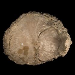 Volviceramus grandis