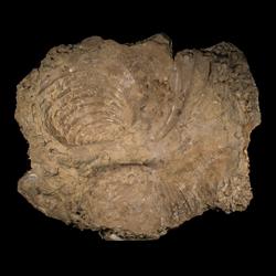Volviceramus involutus