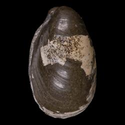 Crenella elegantula