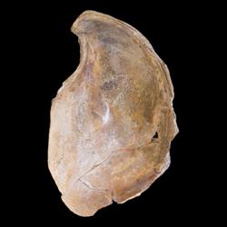 Crassostrea subtrigonalis