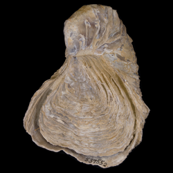 Gryphaea mucronata