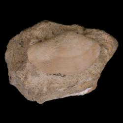 Nuculana scitula