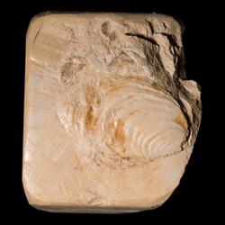 Inoceramus deformis