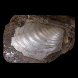Inoceramus sagensis