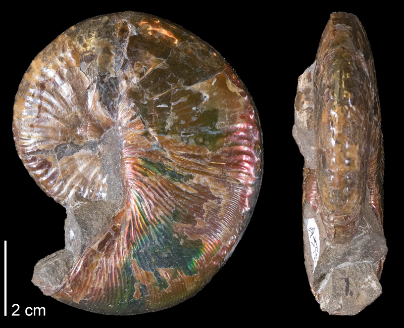 <i>Hoploscaphites comprimus</i> from the Maastrichtian Fox Hills Fm. (Timber Lake Member) of Dewey County, South Dakota (YPM 44248).
