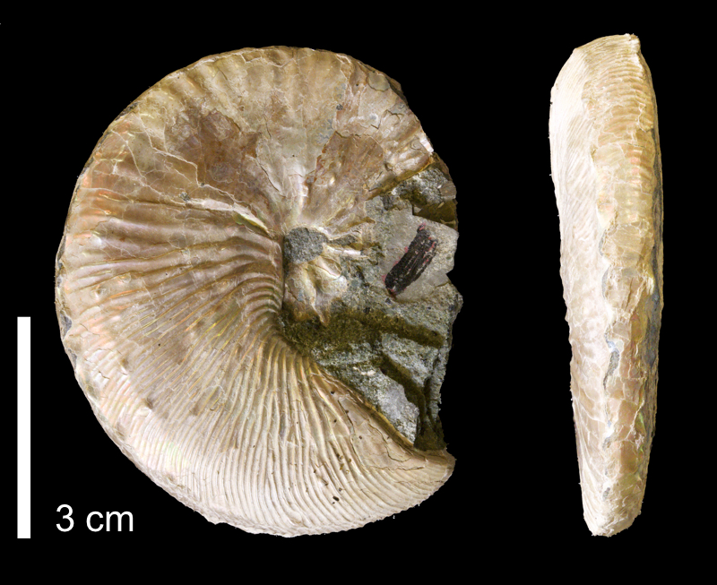 <i>Hoploscaphites comprimus</i> from the Maastrichtian Fox Hills Fm. of Emmons County, North Dakota (YPM 37473).