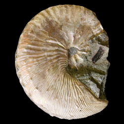 Scaphitidae