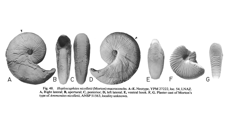 Neotype (A-D; YPM 27222) and plaster cast of Morton's type (E-F; ANSP 51563) of <i>Hoploscaphites nicollettii</i> (macroconchs). See original caption for additional details. Image modified from fig. 48A-G in Landman and Waage (1993 in <i>Bulletin of the American Museum of Natural History, no. 215</i>) and used with permission.