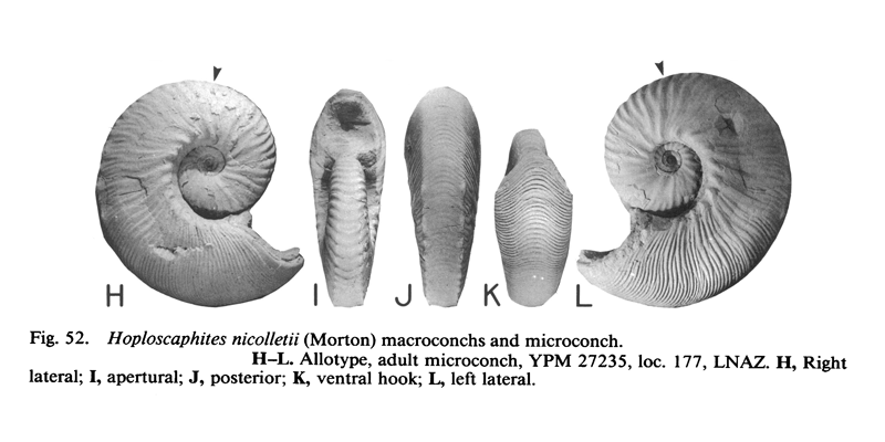 Microconch specimen of <i>Hoploscaphites nicolletii</i> (YPM 27235). See original caption for additional details. Image modified from fig. 52H-L in Landman and Waage (1993 in <i>Bulletin of the American Museum of Natural History, no. 215</i>) and used with permission.
