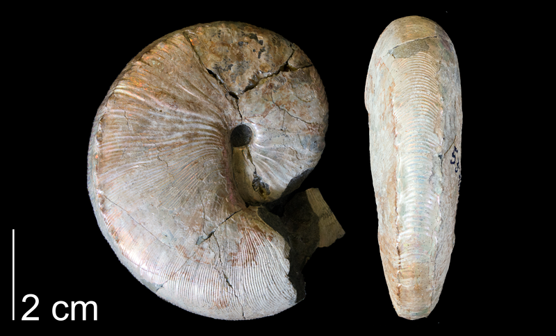 <i>Hoploscaphites nicolletii</i> from the Maastrichtian Fox Hills Fm. (Trail City Member) of Dewey County, South Dakota (YPM 53481).