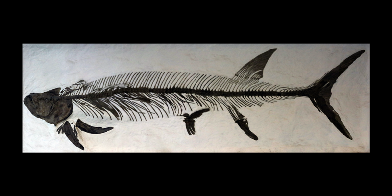 <i> Xiphactinus audax </i> from the Late Cretaceous Niobrara Fm. of Logan County, Kansas (YPM 002177).