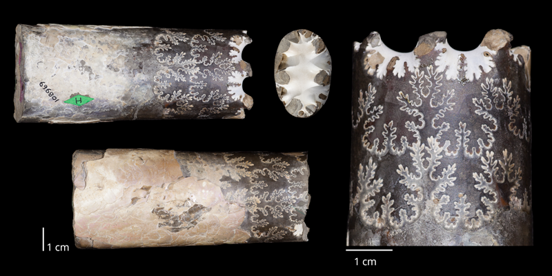 Holotype of <i>Baculites eliasi</i> (USNM 108969). Original unmodified images provided by courtesy of the Smithsonian NMNH and adapted and presented here under a Creative Commons BY-NC 4.0 license (NMNH GUID http://n2t.net/ark:/65665/3479354c4-6522-44e4-bafb-37f97f017cfc).