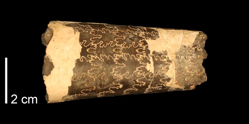 <i>Baculites grandis</i> (KUMIP 34574).