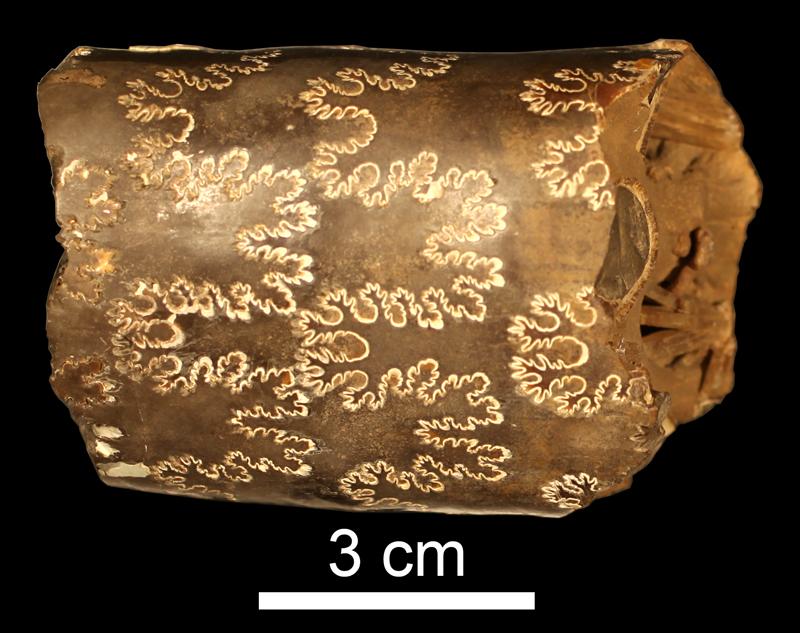 <i>Baculites grandis</i> from the Campanian Bearclaw Fm. near Fort Peck Lake, Montana (KUMIP 34575)