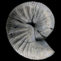 Clioscaphites