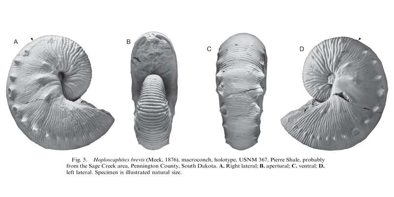 Holotype of <i>Hoploscaphites brevis</i> (USNM 367) (macroconch). See original caption for additional details. Image modified from fig. 5 in Landman et al. (2010) in <i>Bulletin of the American Museum of Natural History</i>, no. 342) and used with permission.