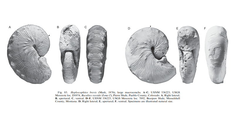 Specimens of <i>Hoploscaphites brevis</i> (macroconchs). See original caption for additional details. Image modified from fig. 85 in Landman et al. (2010) in <i>Bulletin of the American Museum of Natural History</i>, no. 342) and used with permission.