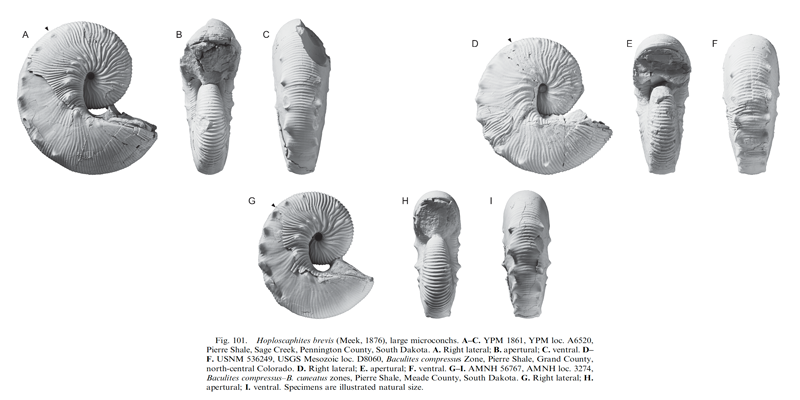 Specimens of <i>Hoploscaphites brevis</i> (microconchs). See original caption for additional details. Image modified from fig. 101 in Landman et al. (2010) in <i>Bulletin of the American Museum of Natural History</i>, no. 342) and used with permission.