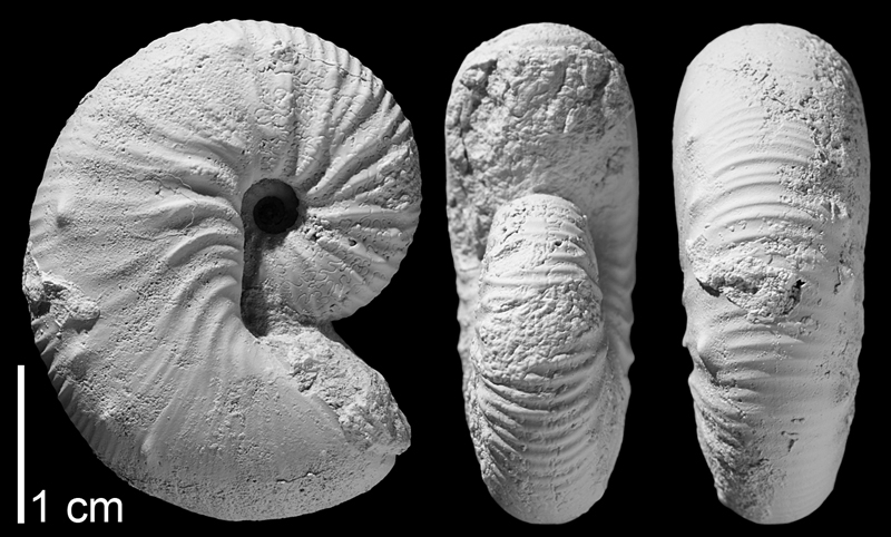 Holotype of <i>Hoploscaphites gilberti</i> from the Campanian Pierre Shale of Butte County, South Dakota (AMNH 64559). Specimen whitened to highlight aspects of shell morphology. Images used with permission from Landman et al. (2013, fig. 6s-u).