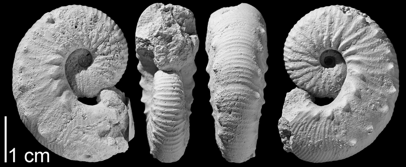 Paratype of <i>Hoploscaphites gilberti</i> from the Campanian Pierre Shale of Butte County, South Dakota (AMNH 64573). Specimen whitened to highlight aspects of shell morphology. Images used with permission from Landman et al. (2013, fig. 11s-v).