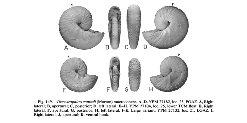 Specimens of <i>Discoscaphites conradi</i> (YPM27182 and YPM27104) (macroconchs). See original caption for additional details. Image modified from figs. 149A-H in Landman and Waage (1993 in <i>Bulletin of the American Museum of Natural History</i>, no. 215) and used with permission.