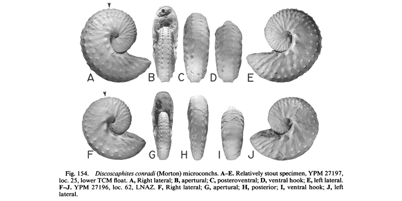 Specimens of <i>Discoscaphites conradi</i> (YPM27182 and YPM27104) (microconchs). See original caption for additional details. Image modified from figs. 149A-H in Landman and Waage (1993 in <i>Bulletin of the American Museum of Natural History</i>, no. 215) and used with permission.