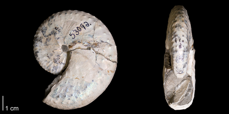 <i>Discoscaphites conradi</i> from the Maastrichtian Fox Hills Fm. (Trail City Member) of Corson County, South Dakota (YPM 53092).