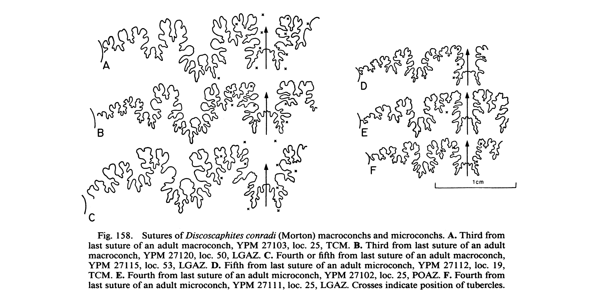 Sutures of <i>Discoscaphites conradi</i>. See original caption for additional details. Image modified from figs. 158 in Landman and Waage (1993 in <i>Bulletin of the American Museum of Natural History</i>, no. 215) and used with permission.