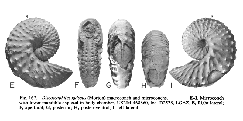 Specimen of <i>Discoscaphites gulosus</i> (YPM 27190) (microconch). See original caption for additional details. Image modified from figs. 167E-I in Landman and Waage (1993 in <i>Bulletin of the American Museum of Natural History</i>, no. 215) and used with permission.