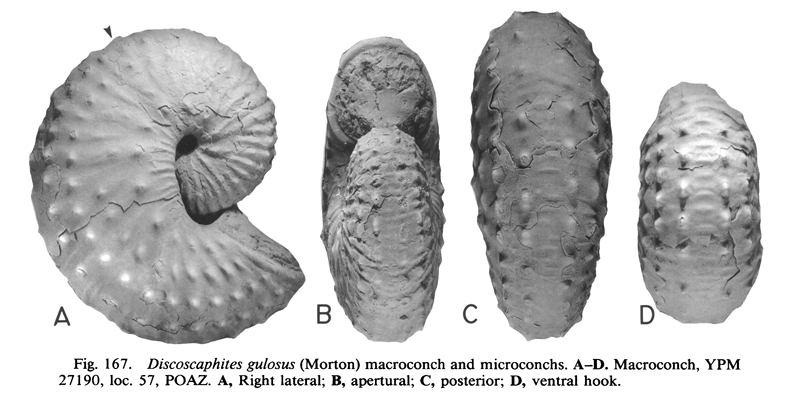 Specimen of <i>Discoscaphites gulosus</i> (YPM 27190) (macroconch). See original caption for additional details. Image modified from figs. 167A-D in Landman and Waage (1993 in <i>Bulletin of the American Museum of Natural History</i>, no. 215) and used with permission.