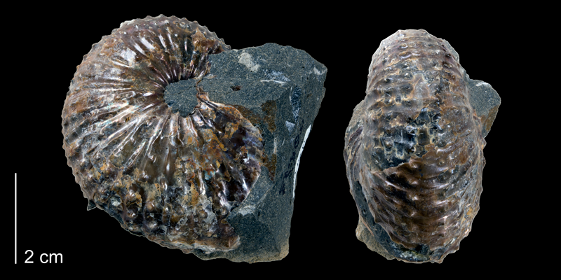 <i>Discoscaphites gulosus</i> from the Maastrichtian Fox Hills Fm (Trail City Member) of Dewey County, South Dakota (YPM 52828).