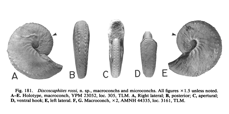 Holotype of <i>Discoscaphites rossi</i> (YPM 23052) (macroconch). See original caption for additional details. Image modified from figs. 181A-E in Landman and Waage (1993 in <i>Bulletin of the American Museum of Natural History</i>, no. 215) and used with permission.