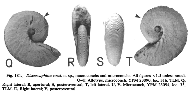 Specimen of <i>Discoscaphites rossi</i> (YPM 23090) (microconch). See original caption for additional details. Image modified from figs. 181Q-T in Landman and Waage (1993 in <i>Bulletin of the American Museum of Natural History</i>, no. 215) and used with permission.