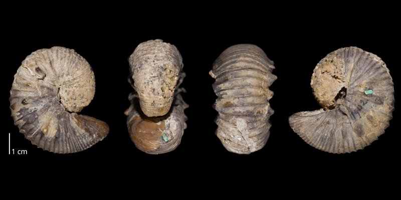 Holotype of <i>Clioscaphites vermiformis</i> (USNM 1902). Original unmodified images provided by courtesy of the Smithsonian NMNH and adapted and presented here under a Creative Commons BY-NC 4.0 license (NMNH GUID http://n2t.net/ark:/65665/33c3d03e0-7d90-4a9c-b38a-75ad21a18b27).