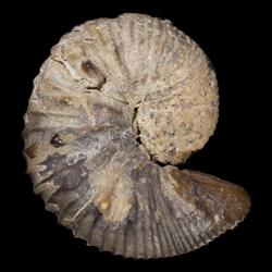 Clioscaphites vermiformis