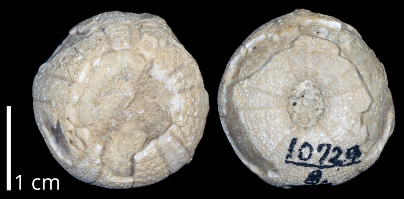 <i>Anorthopygus texanus</i> from the Cretaceous (formation unknown) of the Anacacho Mountains of Texas (KUMIP 370225).