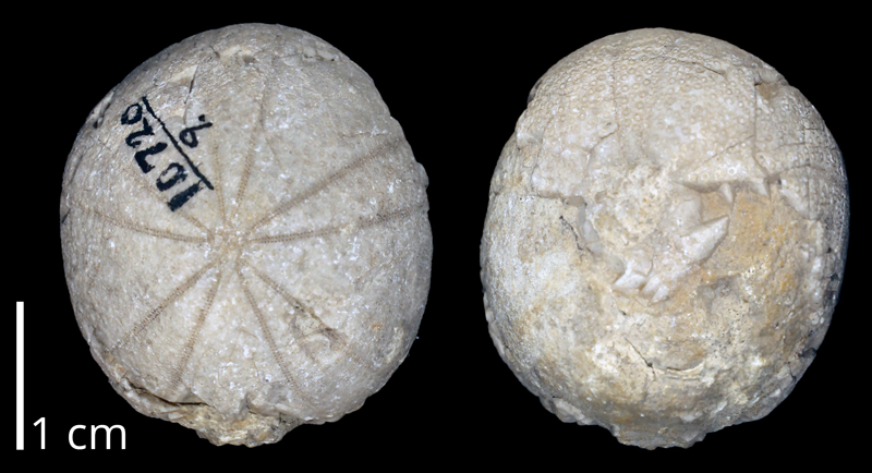 <i>Globator parryi</i> likely from the Albian Washita Group of Texas (KUMIP 370255).
