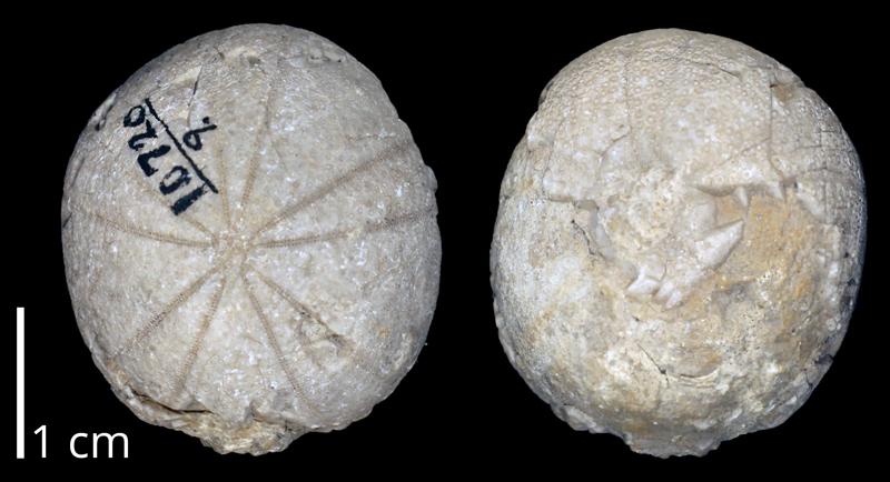 <i>Globator parryi</i> likely from the Albian Washita Group of Texas (KUMIP 370255).