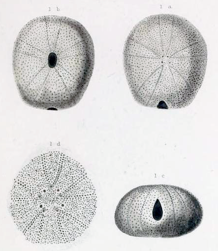 Original figures of <i>Globator parryi</i> from Conrad (1857, pl. 1, figs 1a-d). Source: http://biodiversitylibrary.org/page/12243438.