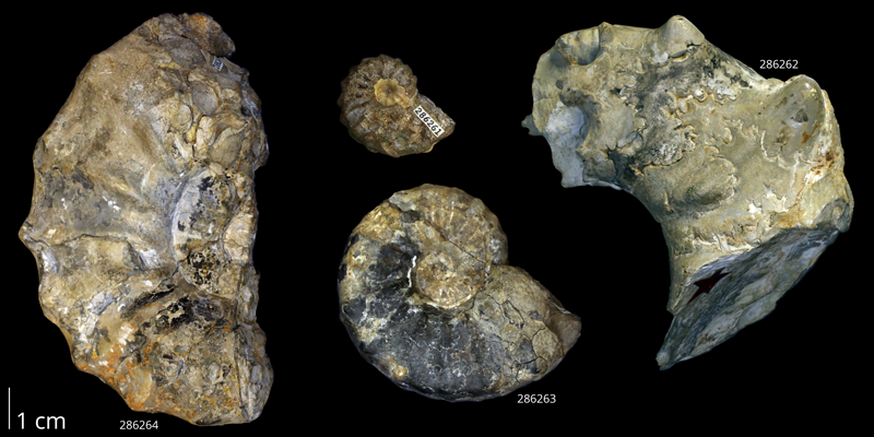 Syntype specimens of <i>Acanthoceras amphibolum</i> from the collections of the KUMIP. Kennedy and Cobban (1990, text-fig. 11) characterized KUMIP 286263 as the