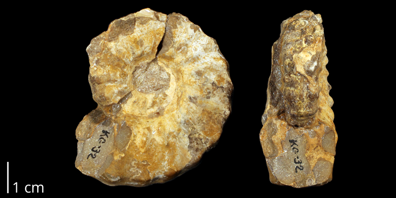 <i>Acanthoceras amphibolum</i> from the Cenomanian to Turonian Graneros Shale Fm. of Ellsworth County, Kansas (KUMIP 282253).