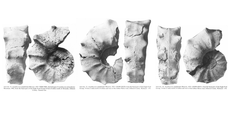 Specimens of <i>Acanthoceras amphibolum</i>, including the holotype of <i>Acanthoceras alvaradoense</i> Moreman, 1942. See original captions for additional details. Image modified from text-figs 12-14 in Kennedy and Cobban (1990a in <i>Palaeontology</i>), made available through Biodiversity Heritage Library via a CC BY-NC-SA 4.0 license.